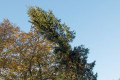 Tip of Conifer falling as it is felled in pieces Royalty Free Stock Photography