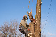 Ropes supporting man sawing tree Royalty Free Stock Photos