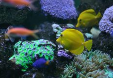 Yellow fish on a coral reef Stock Photo
