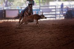 Calf Roping At A Rodeo. Roping a calf event at an indoor country rodeo Stock Photos