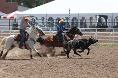 Roping - Cheyenne Frontier Days Rodeo 2013 Stock Photo