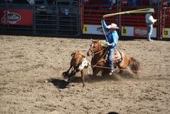 Roping da equipe dos cowboys Fotografia de Stock