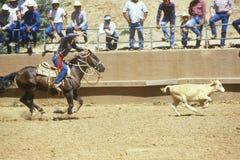 Roping da vitela foto de stock royalty free
