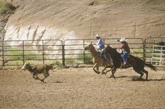 Roping de veau Photos stock