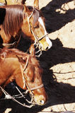 Roping horses. Waiting to perform in a rodeo Stock Photos