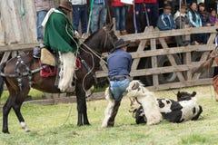 Roping una vaca en Ecuador Foto de archivo libre de regalías