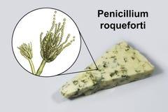 Roquefortost och svampPenicilliumroqueforti som anv?nds i dess produktion arkivfoto
