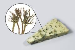 Roquefortost och svampPenicilliumroqueforti som anv?nds i dess produktion arkivfoton