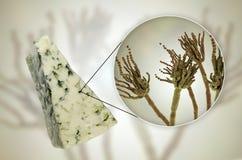 Roquefortost och svampPenicilliumroqueforti som anv?nds i dess produktion royaltyfri foto