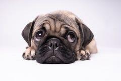 Roquet, chien sur le fond blanc Gros chiot potelé amical mignon de roquet Animaux familiers, amants de chien, d'isolement sur le  image stock