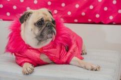 Roquet mignon de chien avec le repos de sommeil de laine de robe de rose de mode sur la protection et regard à quelque chose Photo stock