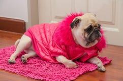 Roquet mignon de chien avec le repos de sommeil de laine de robe de rose de mode sur le plancher Image libre de droits