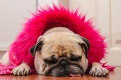 Roquet mignon de chien avec le repos de sommeil de laine de robe de rose de mode sur le plancher de stratifié de tapis Photos stock