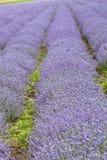 Ror av blommor. Lavendelar sätter in Arkivfoton