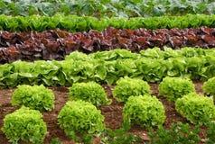 Ror av grönsallat på en sätta in Royaltyfria Bilder