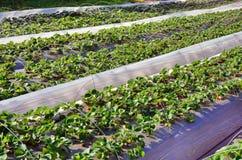 Ror av planta av jordgubben Royaltyfri Fotografi