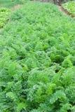 Ror av planterat Royaltyfri Foto