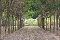 Ror av rubber trees. Royaltyfria Bilder