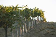 Ror av vinrankor Fotografering för Bildbyråer
