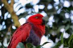 Roratus rosso e blu di Eclectus del pappagallo di Electus Fotografia Stock