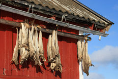 Rorbu & stockfish of Lofoten. Cod fish hanging to dry from a roof of a traditional Rorbu of Lofoten islands stock image