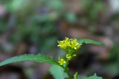 Rorippa indica L.Hiern. Rorippa Cruciferae perennial herb, expectorant, cough. It is used for chronic bronchitis. Depressor diuresis, cool blood to stop bleeding Stock Photography