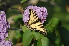 Rosáceo-púrpura amarillo Fotos de archivo