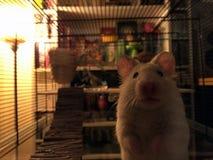 Rosâtre le hamster à la maison Photos stock
