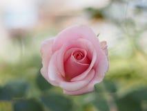 Rosâtre s'est levé Image libre de droits
