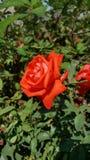 Rosè Image libre de droits
