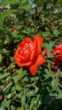 Rosè. A beautiful rose in Kyrgyzstan Royalty Free Stock Image