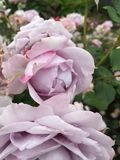 rosé pale rose Stock Photography