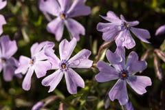 Rosée bleue croissante de phlox Photo stock