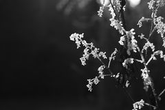 Rosée congelée de matin sur un pavot de plume Photographie stock libre de droits