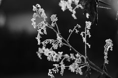 Rosée congelée de matin sur un pavot de plume Photo stock