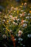 Rosée d'herbe du soleil de coucher du soleil Photos stock