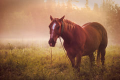 Rosée de brouillard de matin de pâturage de cheval Photo stock