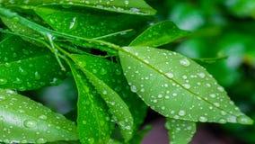 Rosée de matin sur des feuilles de chaux image libre de droits