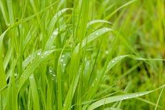 Rosée de matin sur des lames d'herbe pendant le lever de soleil Photographie stock libre de droits