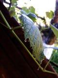 Rosée de matin sur la feuille de vigne Photographie stock