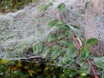 Rosée de matin sur une toile d'araignée accrochant sur le cotoneaster de branches image stock
