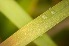 Rosée de plan rapproché sur les feuilles de riz dans des domaines de riz photographie stock libre de droits