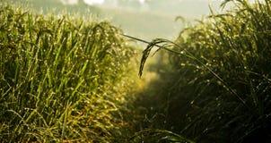Rosée de rizière le matin Photo libre de droits