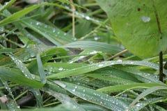 Rosée et gouttes de pluie sur les feuilles et l'herbe tubulaires vertes Images libres de droits