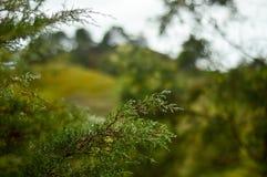 rosée fraîche dans des brindilles de pin Photographie stock libre de droits