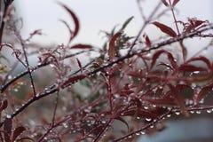 Rosée lourde de matin sur le bambou Photo stock