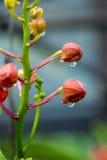 Rosée sur des bourgeons Images libres de droits