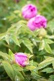 Rosée sur des fleurs photo libre de droits