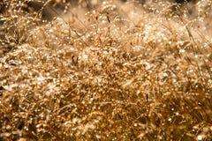 Rosée sur l'herbe d'or images libres de droits