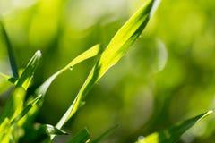 Rosée sur l'herbe en nature photo libre de droits